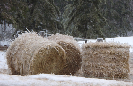 Iced hay bales